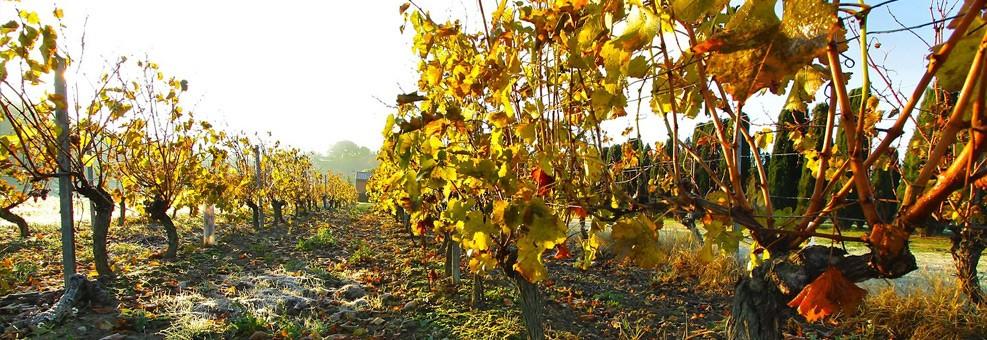 Vignes et soleil autour du camping